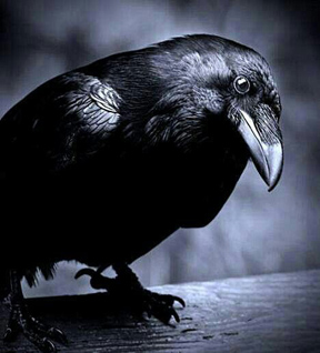 Raven means magic and much more….